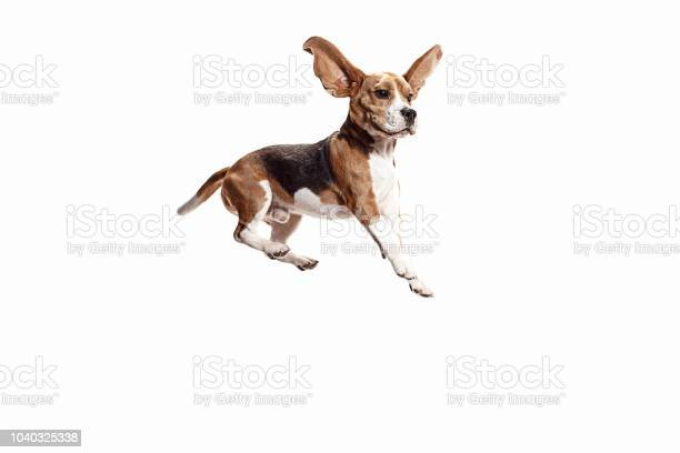 Front view of cute beagle dog isolated on a white background picture id1040325338?b=1&k=6&m=1040325338&s=612x612&h=myytkbsqjstmekntofgagz1r3xb ypotmgim8uqpovc=