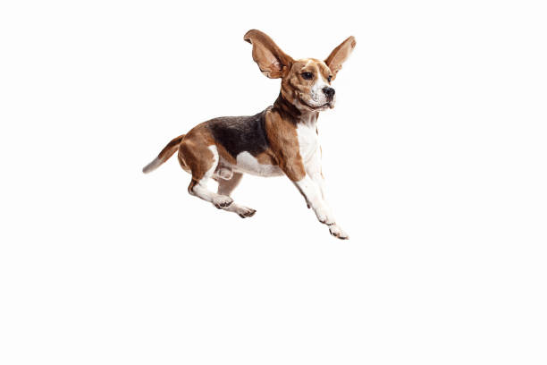 front view of cute beagle dog isolated on a white background - mid air stock pictures, royalty-free photos & images