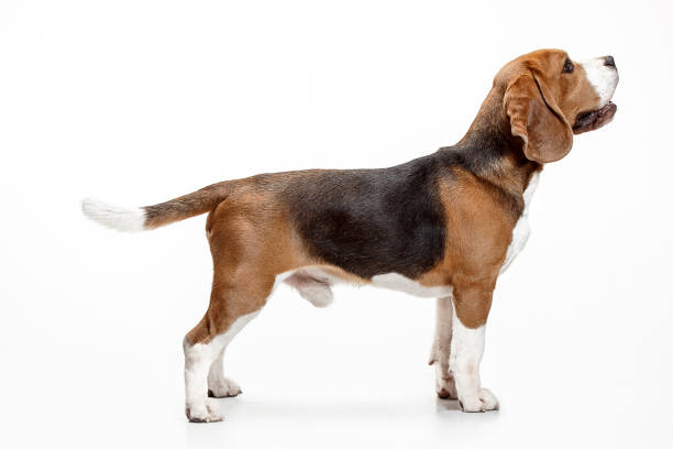 Front view of cute beagle dog sitting isolated on a white background picture id1040325446?b=1&k=6&m=1040325446&s=612x612&w=0&h=pxok poj97hsquwczhsruvzw40xiscbdlhsrz2hyna0=