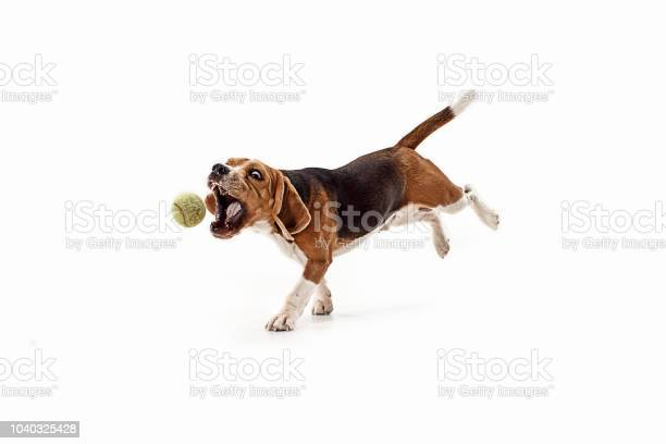 Front view of cute beagle dog with ball isolated on a white picture id1040325428?b=1&k=6&m=1040325428&s=612x612&h=nc wpiwj6px   ra3uk9qkubyovibkuxwzwxrlb2pkw=