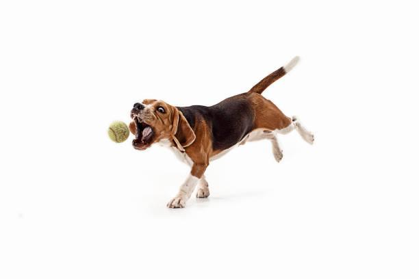 Front view of cute beagle dog with ball isolated on a white picture id1040325428?b=1&k=6&m=1040325428&s=612x612&w=0&h=nj9smubbvs1ex ynhqbr wrnn7lesk11z6fdk7ovnom=