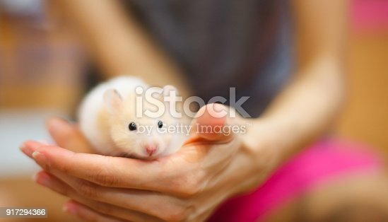 istock Front view of Cute Orange and White Syrian or Golden Hamster (Mesocricetus auratus) climbing on girl's hand. Taking Care, Mercy, Domestic Pet Animal Concept. 917294366