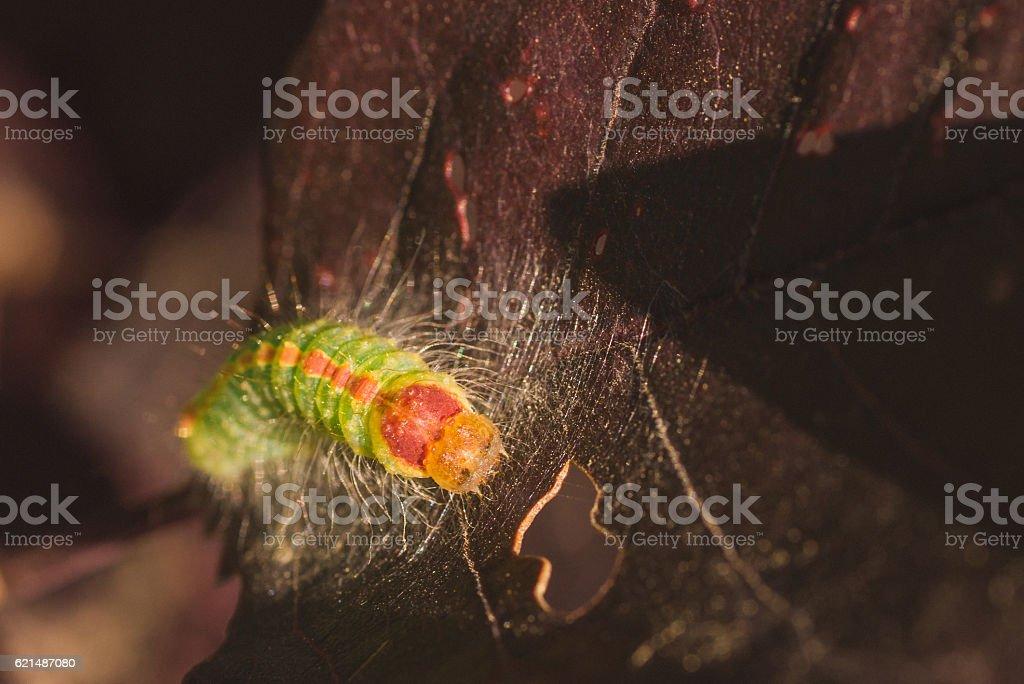 Front view of Dagger moth caterpillar. stock photo
