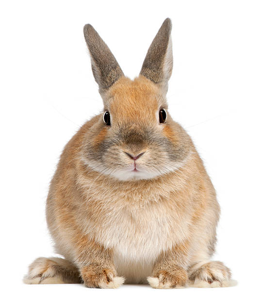 front view of dwarf rabbit, 6 months old, white background - rabbit stock photos and pictures