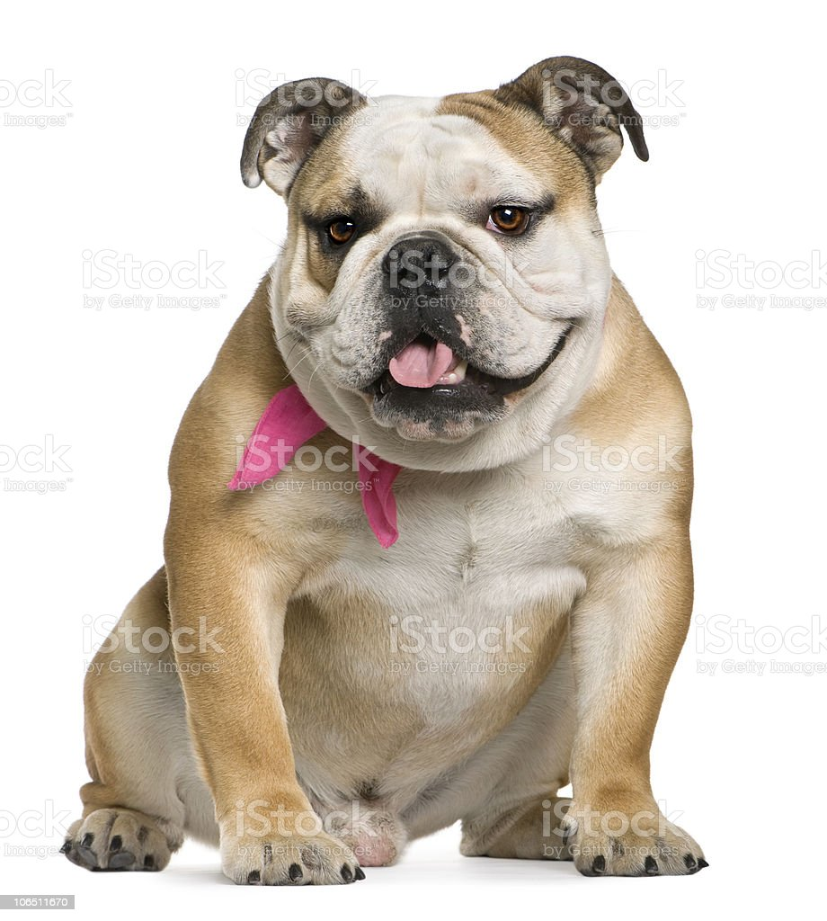 Front view of English bulldog, 11 months old, sitting. stock photo