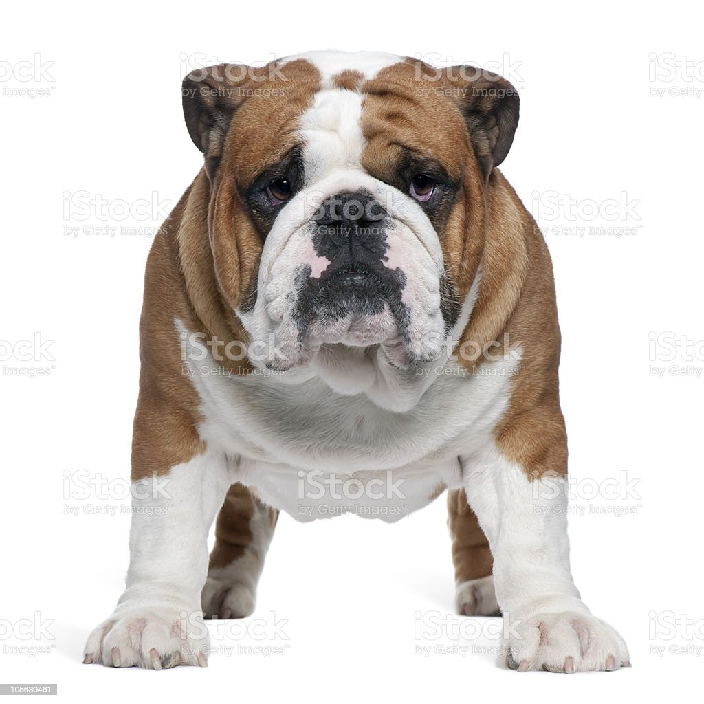 Front view of English Bulldog, 2 years old, standing. stock photo