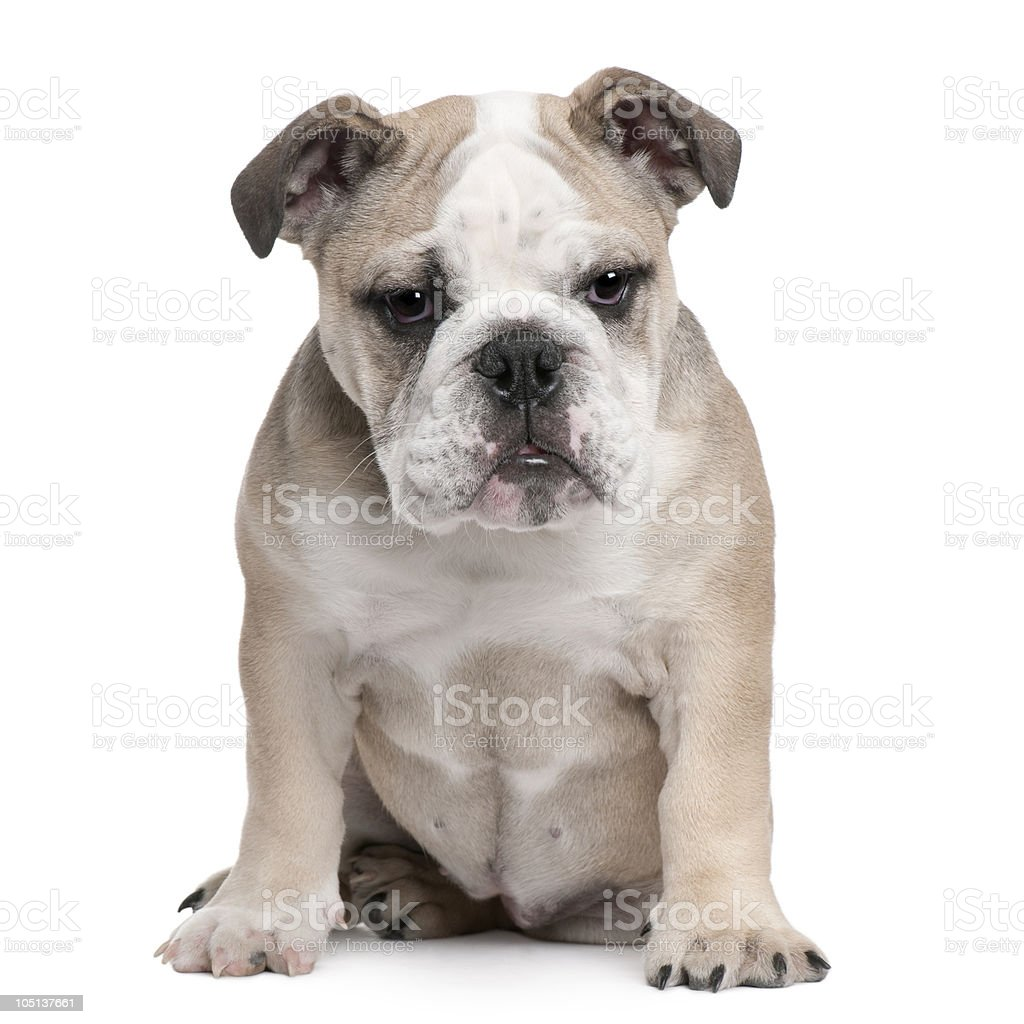 Front View Of English Bulldog Puppy 5 Months Old Stock Photo Download Image Now Istock