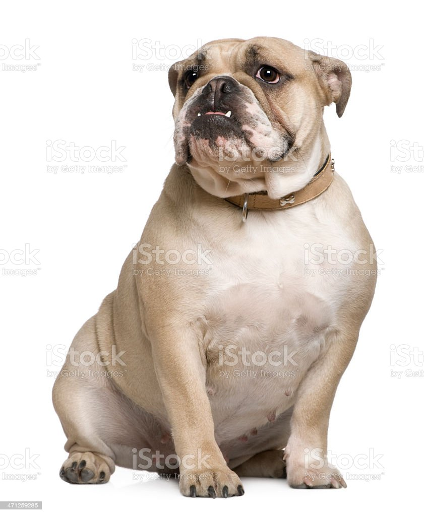 Front view of English Bulldog, sitting and looking away. stock photo