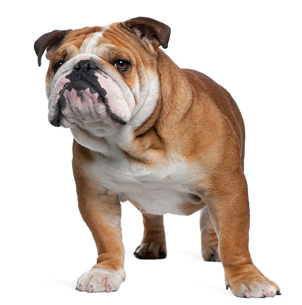 Front view of English Bulldog, standing.  bulldog stock pictures, royalty-free photos & images