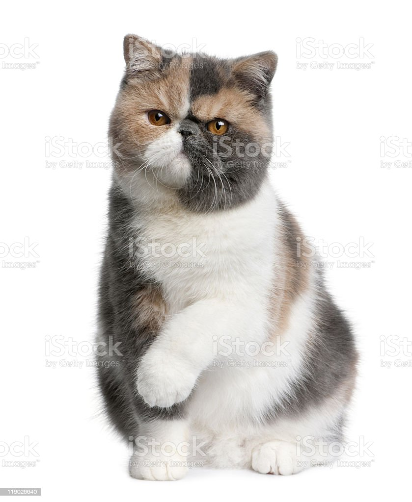 Front View Of Exotic Shorthair Cat Sitting With Paw Up Stock Photo ...