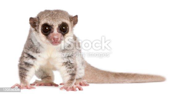 Portrait of ring-tailed lemur.