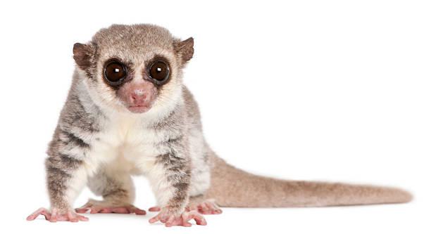 front view of fat-tailed dwarf lemur, cheirogaleus medius, white background. - lemur bildbanksfoton och bilder
