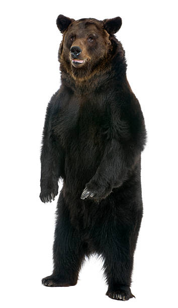 Front view of Female Brown Bear, 12 years old, standing.​​​ foto