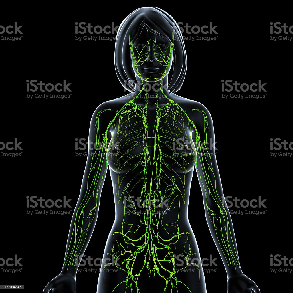 front view of female lymphatic system stock photo