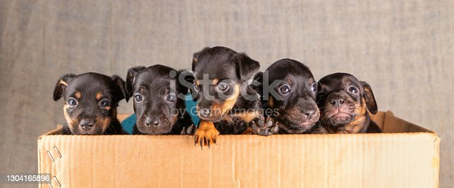 Front view of five Jack russel puppies in a cardboard box. Only the heads and a few legs protrude above the rim. Border, panorama, sociale media.