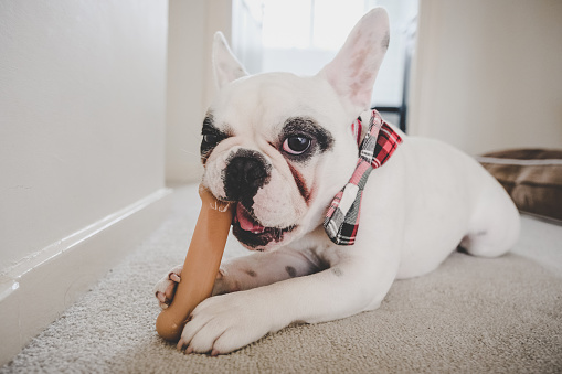 Frenchie dog chewing a bone