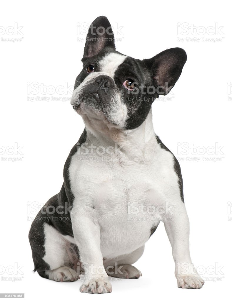 Front view of French Bulldog, sitting and looking up. stock photo