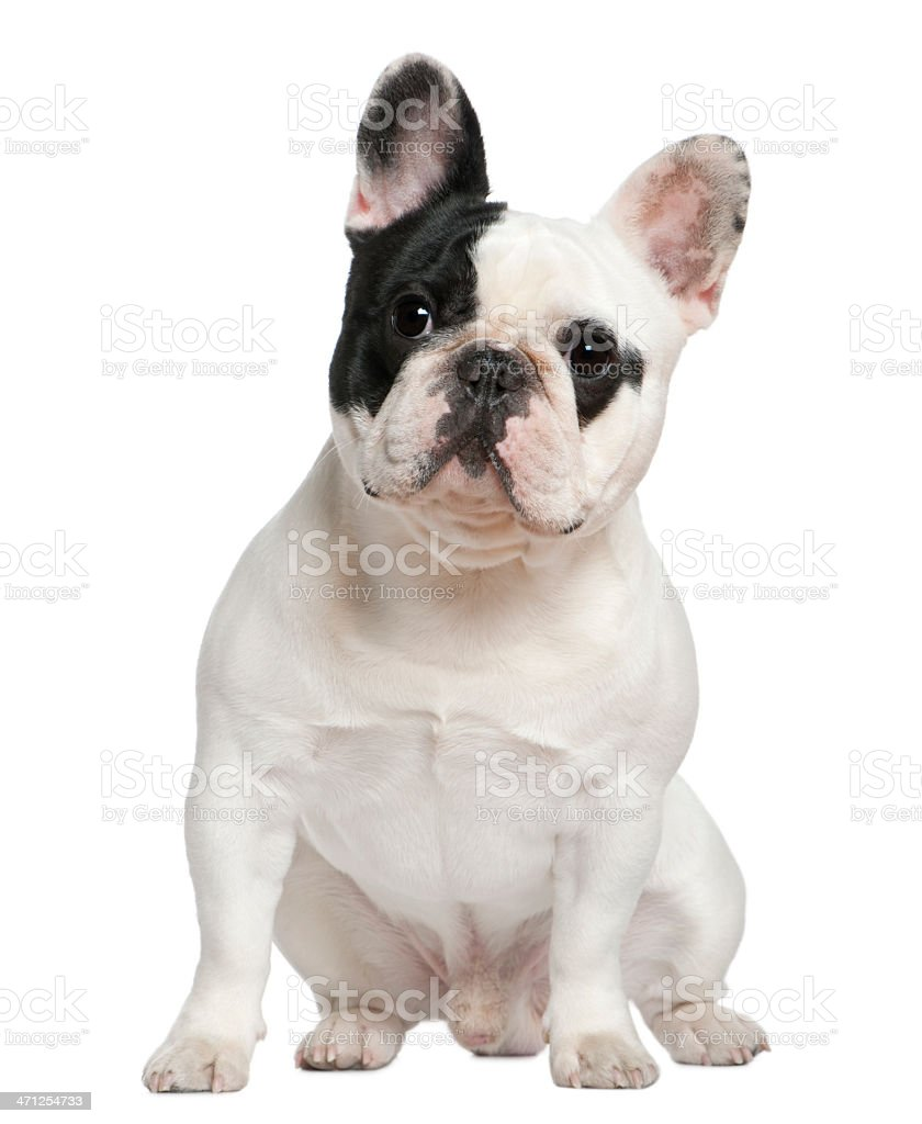 Front view of French bulldog, sitting. royalty-free stock photo