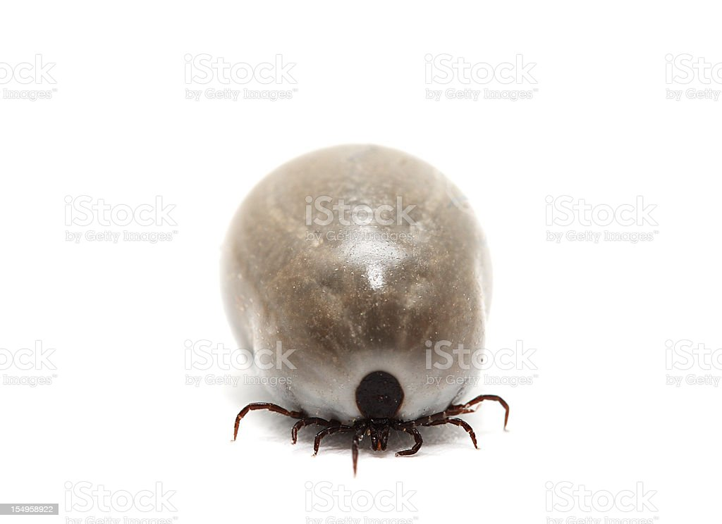 Front view of fully fed tick on white background stock photo