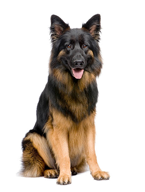 Front view of german shepherd 3 years old sitting picture id106443527?b=1&k=6&m=106443527&s=612x612&w=0&h=hl j10b2faqpxslw13rarczdwuoqvg 36frbisaywuc=