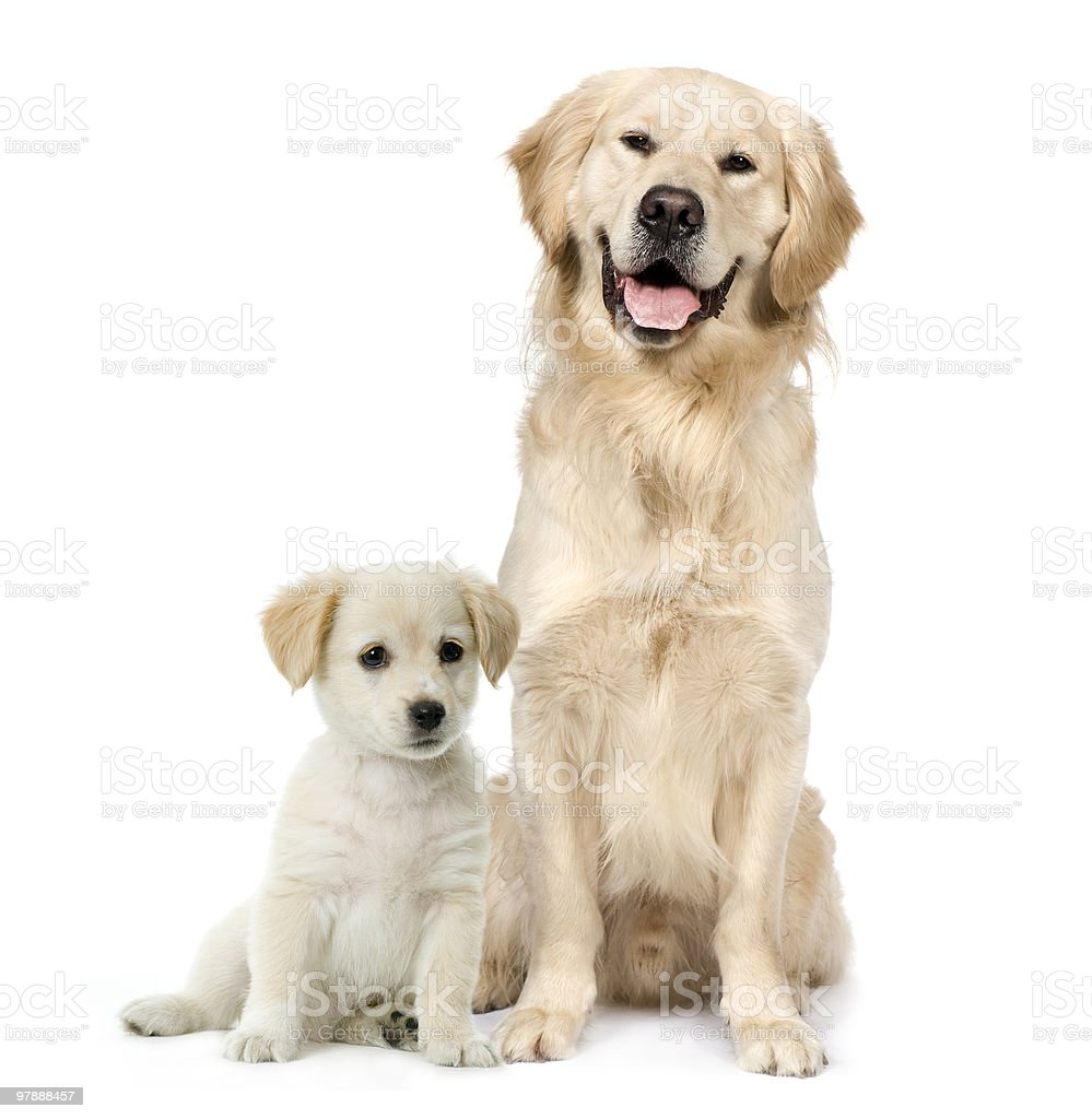 Front view of Golden Retriever and a Labrador puppy sitting stock photo