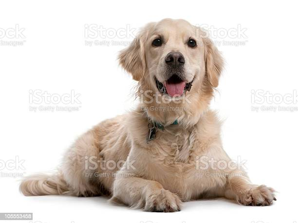 Front view of golden retriever lying down and panting picture id105553458?b=1&k=6&m=105553458&s=612x612&h=z6om24fjv1byo8hm1rpragnu6prsetws2dtc2wnixhs=