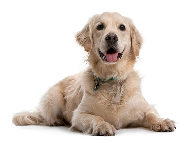 front view of golden retriever, lying down and panting. - golden retriever stock photos and pictures