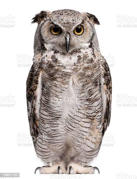 Front view of great horned owl bubo virginianus subarcticus standing picture id108521207?b=1&k=6&m=108521207&s=612x612&h=qbrqu5omf5rwmqav4igwwryocbck3egezzqj3j2pfbg=