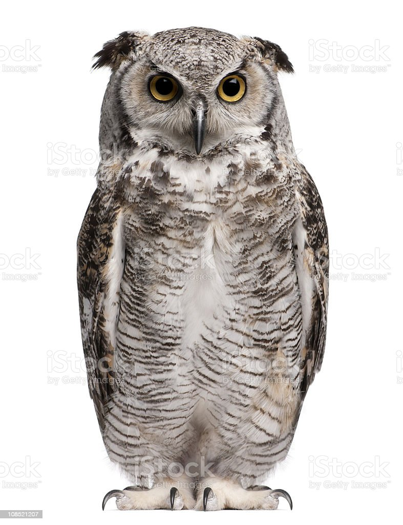 Front view of Great Horned Owl, Bubo Virginianus Subarcticus, standing. stock photo