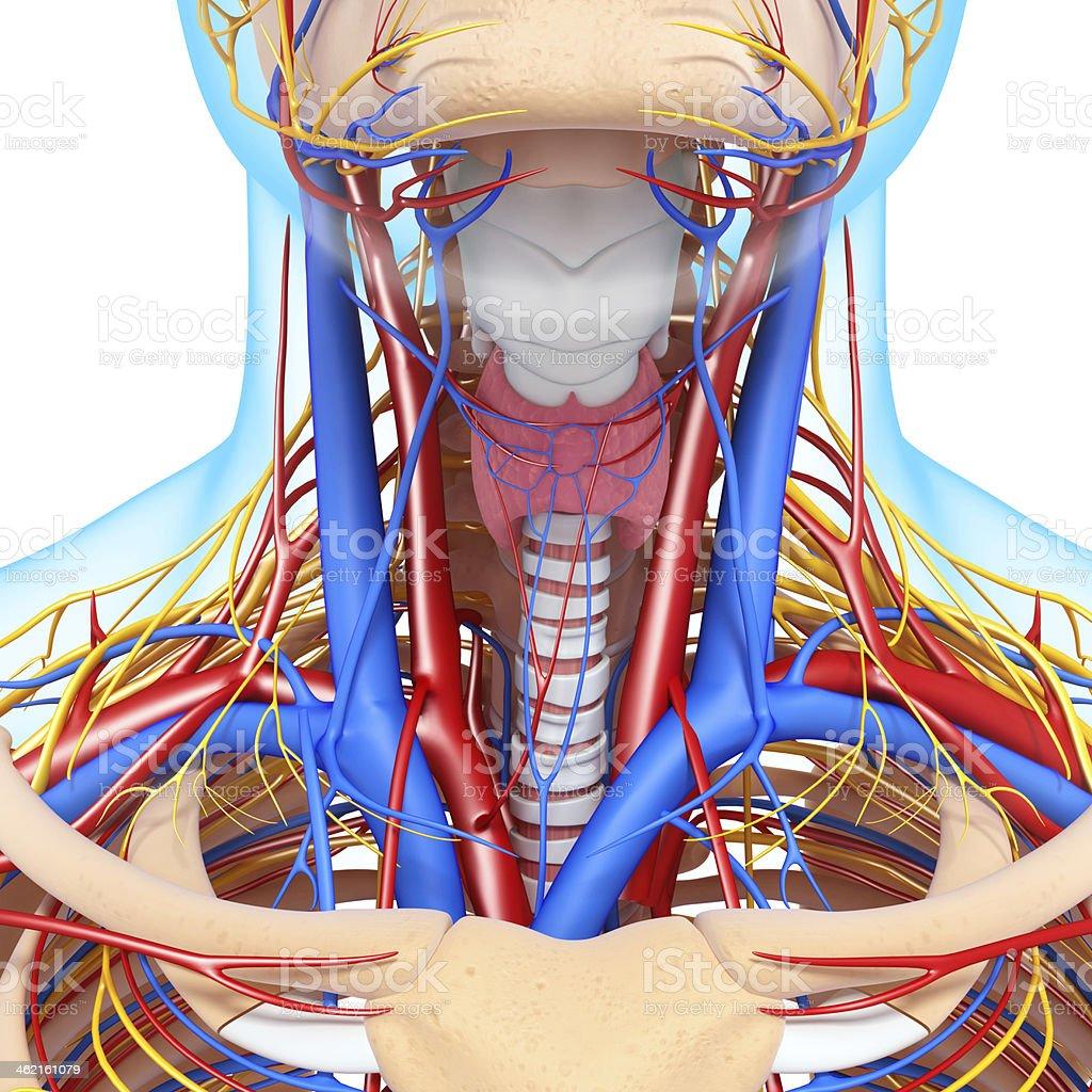 Fotografía de Vista De Frente Del Sistema Circulatorio Y Nervioso De ...