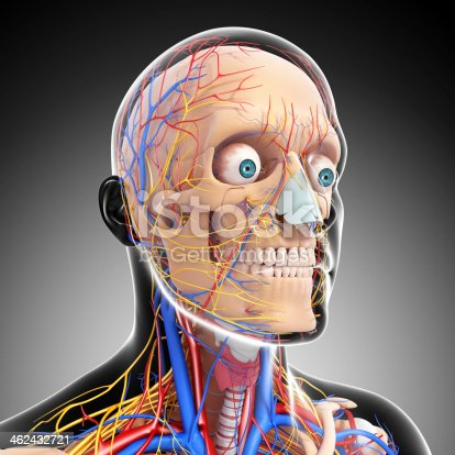 istock front view of head circulatory system and nervous 462432721