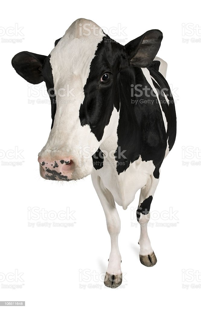 Front view of Holstein cow, 5 years old, standing. stock photo