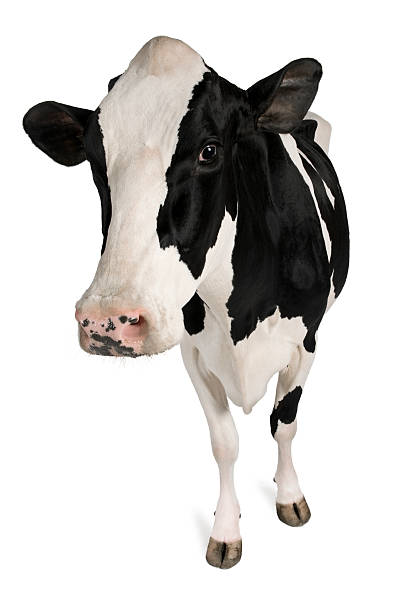 front view of holstein cow, 5 years old, standing. - cow stock photos and pictures