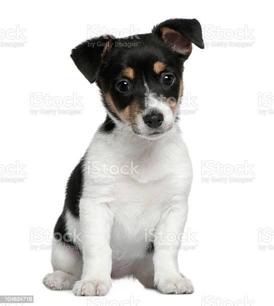 Front view of jack russell terrier puppy sitting picture id104634716?b=1&k=6&m=104634716&s=612x612&h=rhs3qjlj wmuc6lxekulhzhshouian pvevcpgm6cv4=