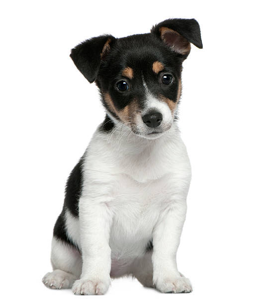 Front view of jack russell terrier puppy sitting picture id104634716?b=1&k=6&m=104634716&s=612x612&w=0&h=8fcevkjdo6pihirgc2p150g7kxcc gpug4izbcsg728=