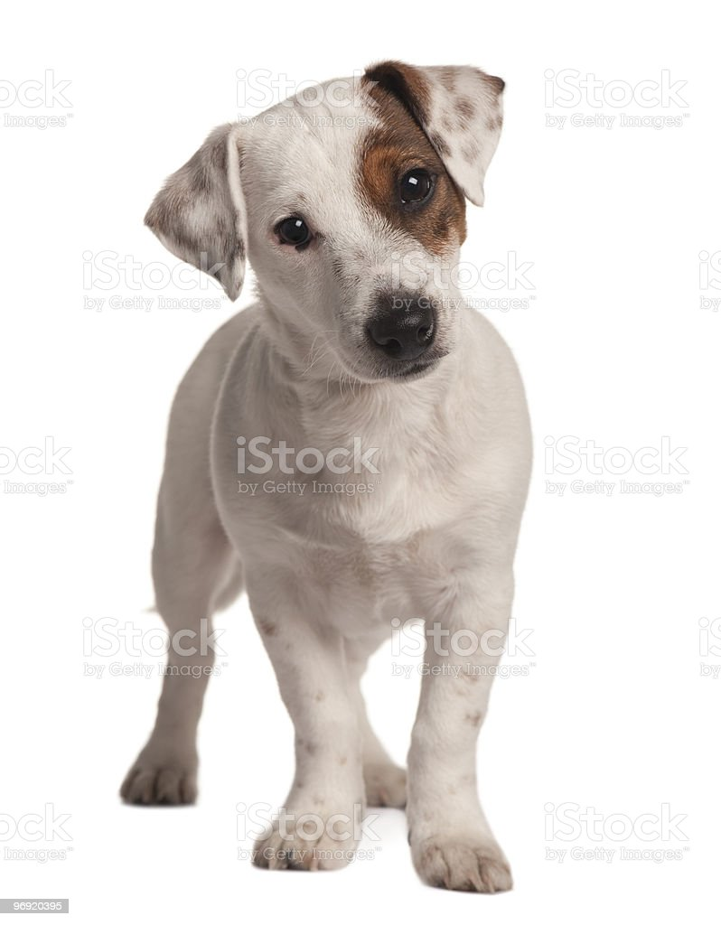 Front view of Jack Russell terrier, standing royalty-free stock photo