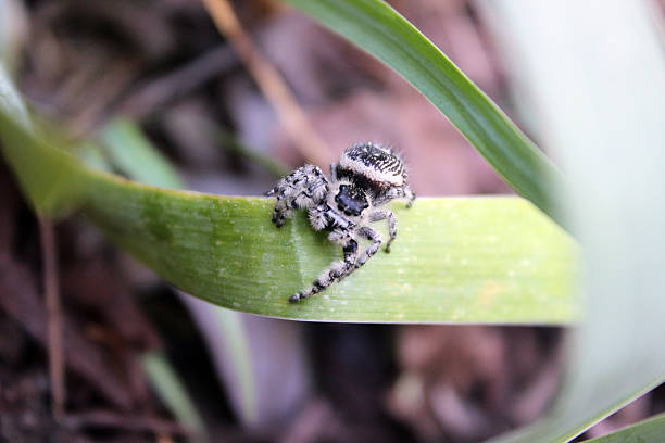 front view of jumping spider perched on iris leaf - pam schodt stock photos and pictures