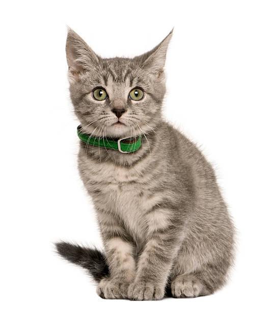 Front view of kitten european cat sitting against white background picture id96195929?b=1&k=6&m=96195929&s=612x612&w=0&h=oauwbxh1kicja8mr2km9duwlrfadeab6n8p1gpiy9fa=