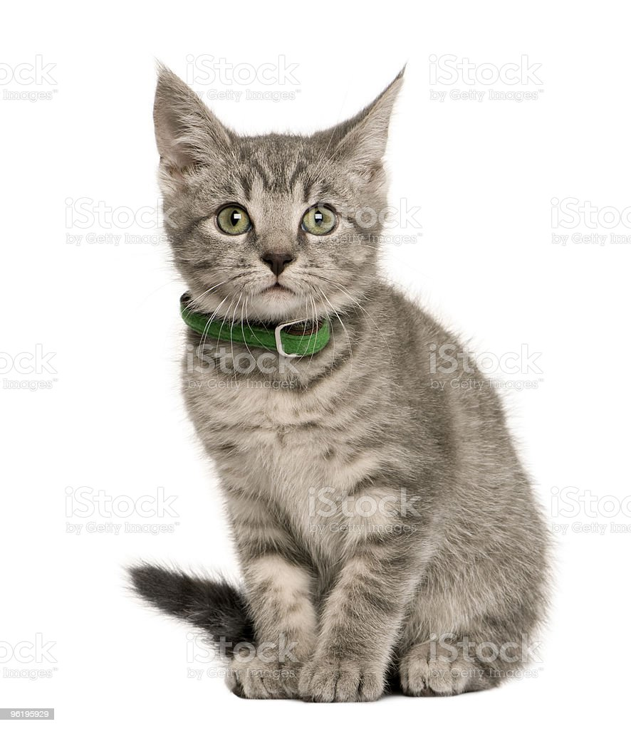Front view of Kitten European cat sitting against white background stock photo