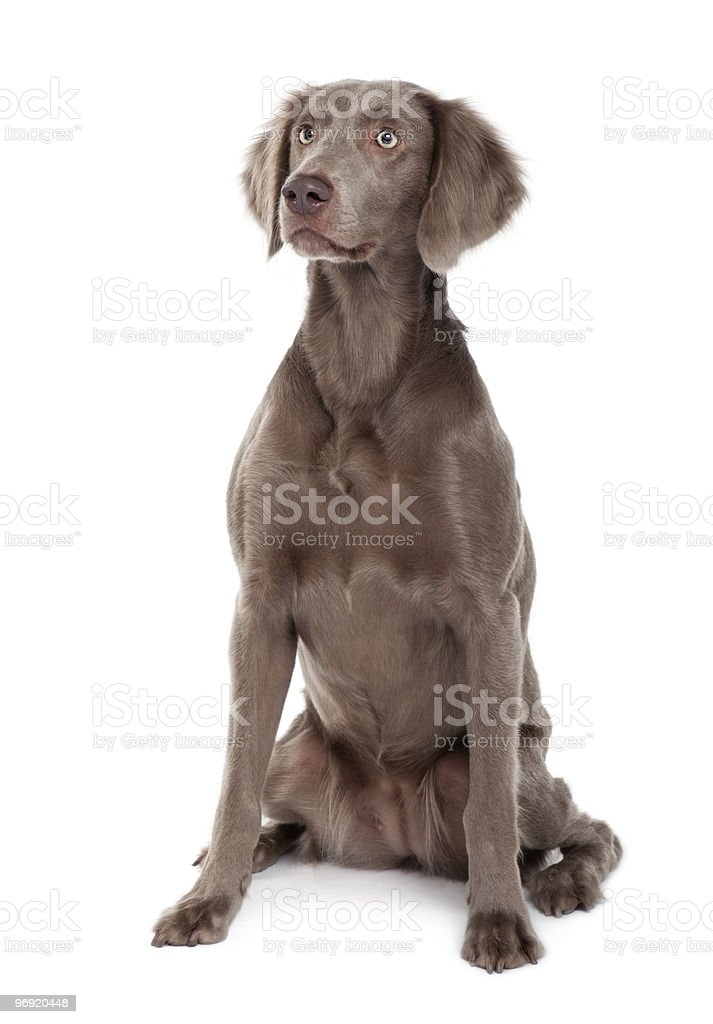Front view of Long-haired Weimaraner dog sitting royalty-free stock photo
