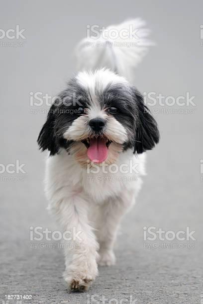 Front view of lovely puppy xlarge picture id182731402?b=1&k=6&m=182731402&s=612x612&h=etlrbusabtypjc0gflpjzhwbzbz44ltkf hhldaivrc=
