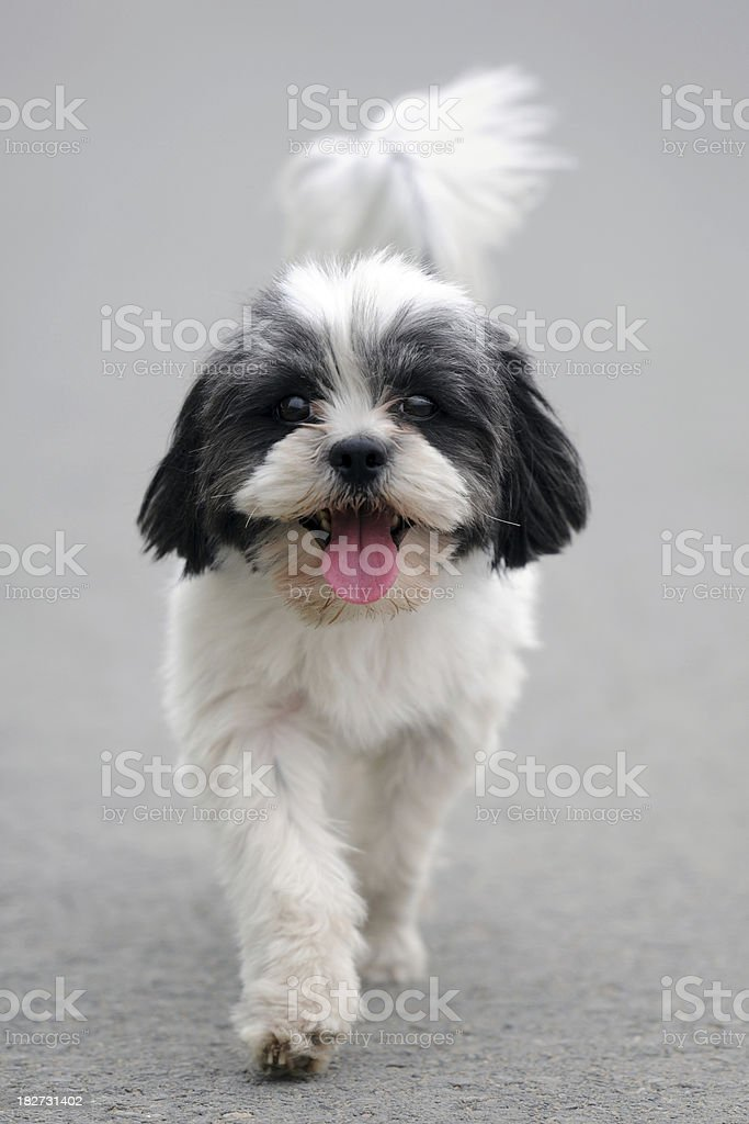 Front View of  Lovely Puppy - XLarge stock photo