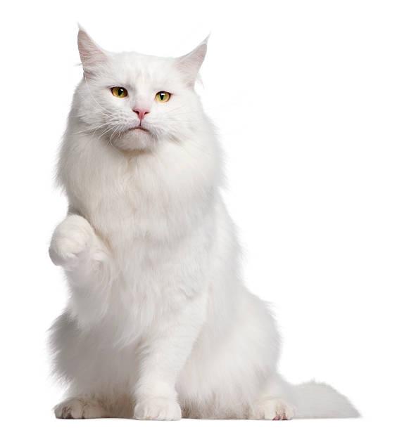 Front view of maine coon cat sitting white background picture id113464200?b=1&k=6&m=113464200&s=612x612&w=0&h=7lmcyqq10btdw6fjycrihq21lqtwjyohkemrc0yqd6w=