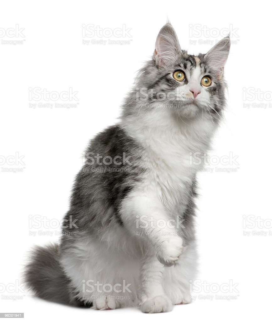 Front view of Maine coon kitten, sitting with paw up royalty-free stock photo