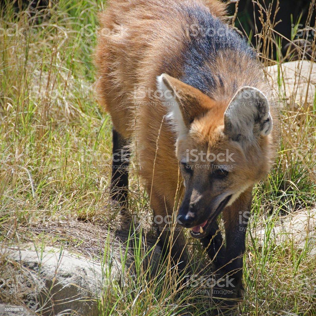 front view of maned wolf, Chrysocyon brachyurus stock photo