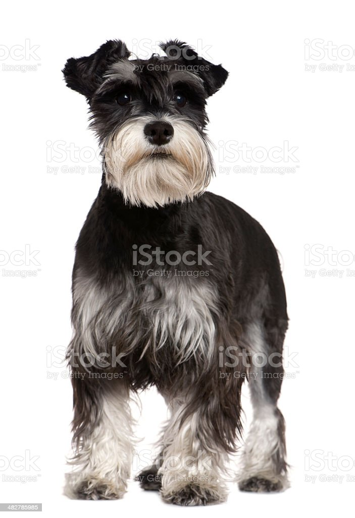 Front view of Miniature Schnauzer, 10 months old, standing. stock photo