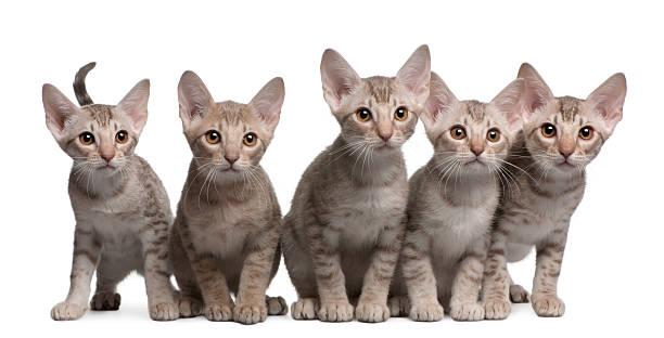 vista anteriore di ocicat gattini, 13 settimane vecchie, seduto. - ocicat foto e immagini stock