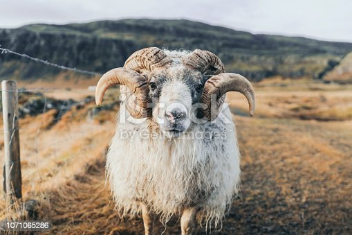 Front view of old ram looking at camera on farm in Iceland