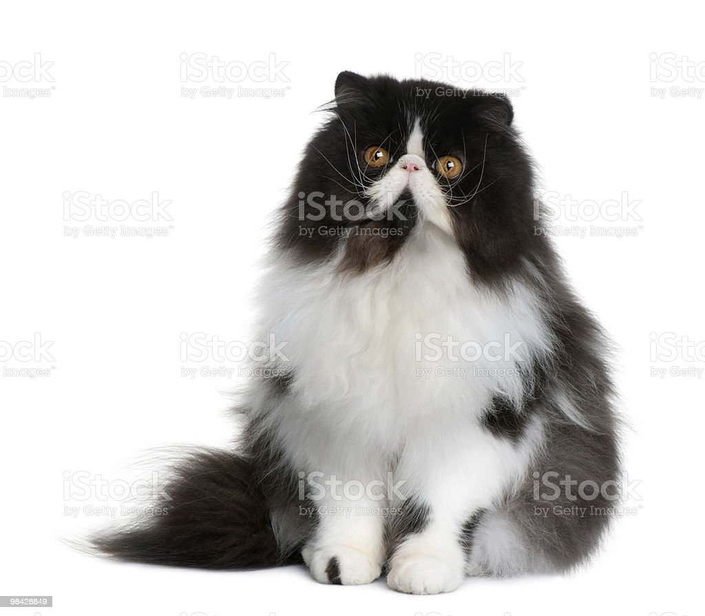 Front view of Persian cat sitting and looking at camera royalty-free stock photo