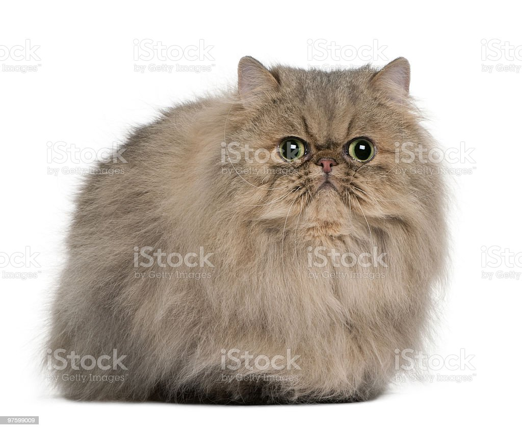 Front view of Persian, sitting and looking the camera royalty-free stock photo